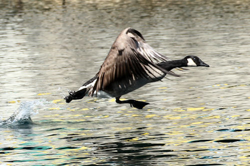 Goose20141029_365b