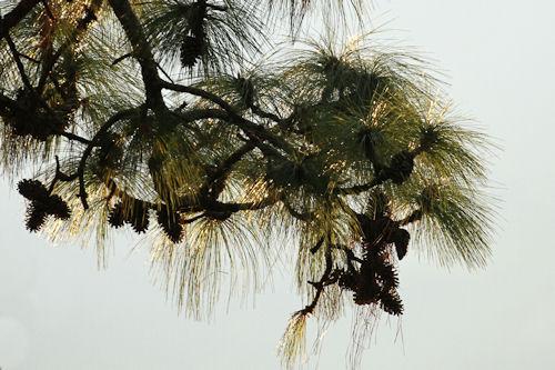Pine20141110_15