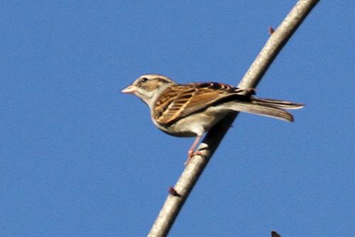 Sparrow20150106_136