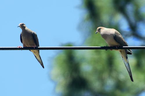 Doves20150509_16