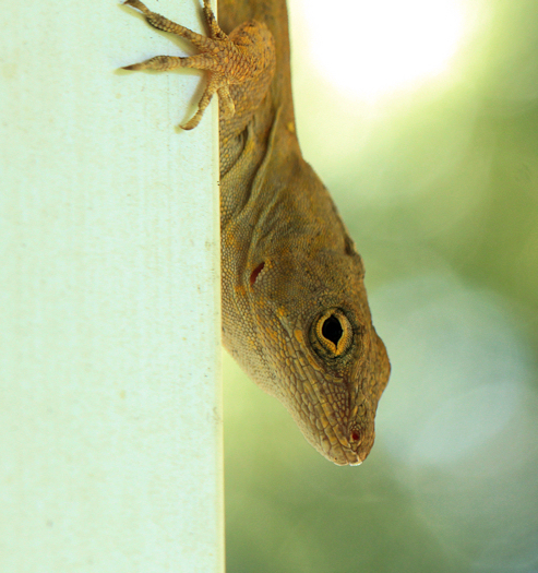 Anole20150616_3