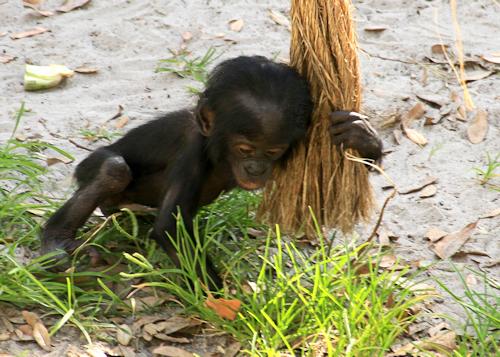 Chimp20150610_97z