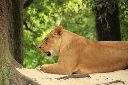 Lion20150610_375