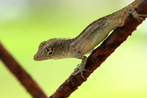 Anole20150710_146