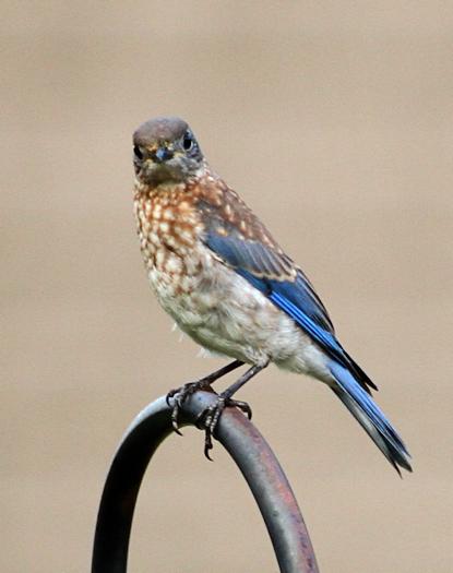 Bluebird20150807_31