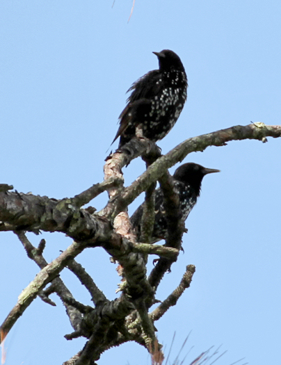 Starlings20150815_31