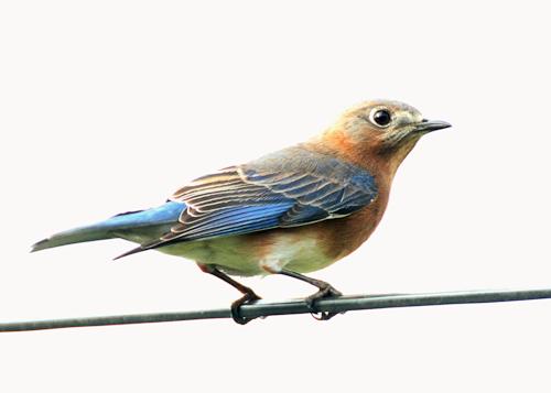 Bluebird20151101_6c