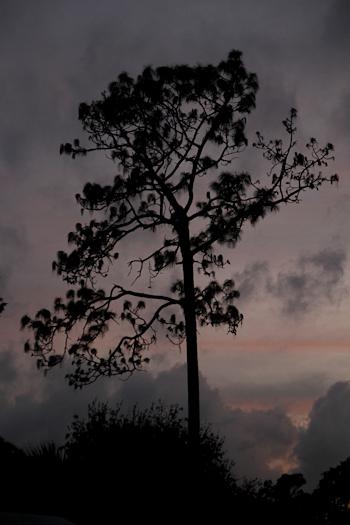 Pine20151109_249b