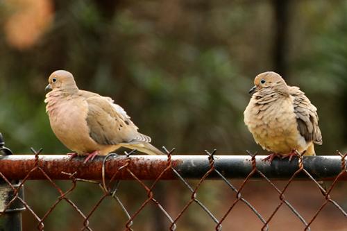 Doves20160214_4