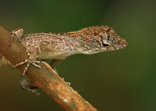 Anole20160605_176