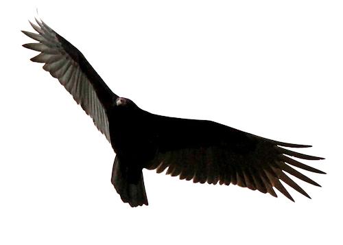 vulture20170121_172