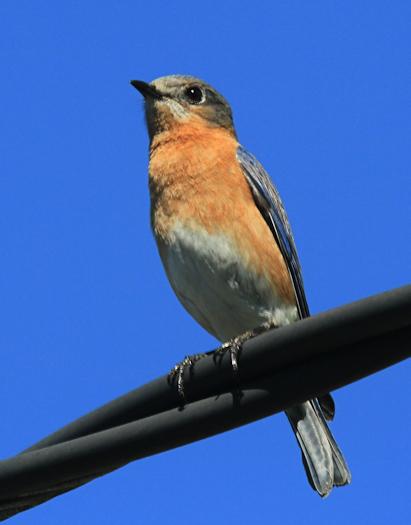 bluebird20170213_9