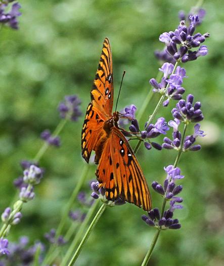 Butterfly20170908_13