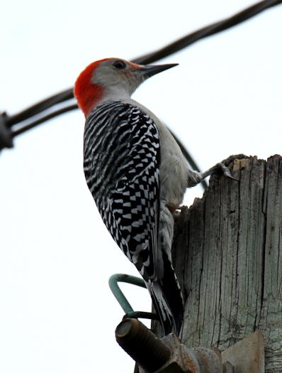 Woodpecker20171117_42